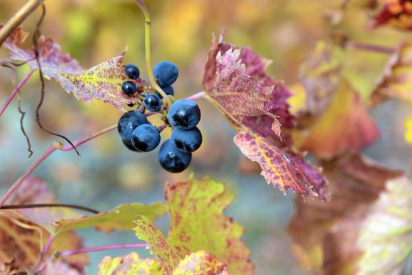 13-Grapes-In-Color-min